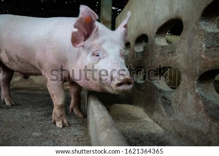 The hungry pig in pig farm
