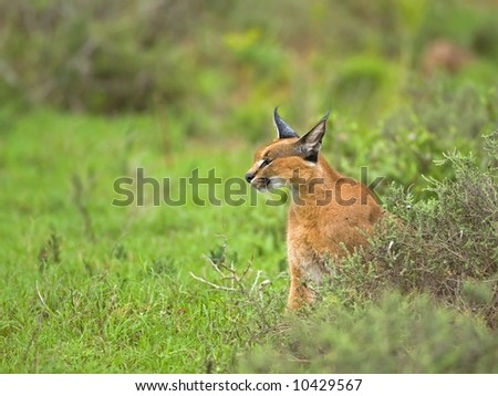The Hunting Caracal stops to rest and plan