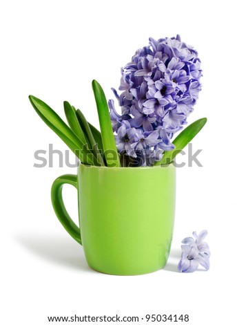 The hyacinth in a tea cup is isolated on a white background