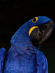 The hyacinth macaw, Anodorhynchus hyacinthinus, or hyacinthine macaw, is a parrot native to central and eastern South America.