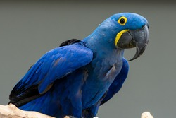 The hyacinth macaw (Anodorhynchus hyacinthinus), or hyacinthine macaw or blue macaw perched on a branch in South America.