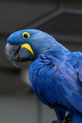 The hyacinth macaw (Anodorhynchus hyacinthinus), or hyacinthine macaw or blue macaw perched on a branch in South America. (portrait)