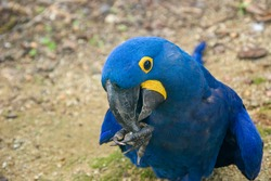 The hyacinth macaw is a parrot native to central and eastern South America. It is the largest macaw and the largest flying parrot species.  The tail is long and pointed.Its feathers are entirely blue.