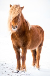 The Icelandic horse is a breed of horse developed in Iceland. Although the horses are small, at times pony-sized, most registries for the Icelandic refer to it as a horse. Icelandic horses are long-li