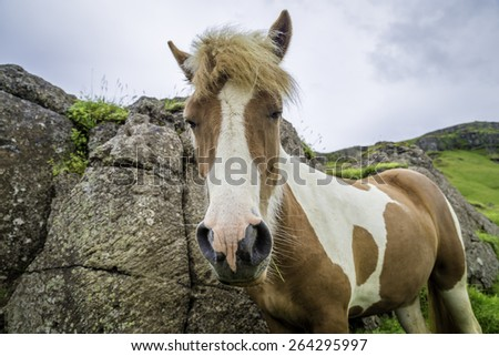 The Icelandic horse is a small, hardy, charismatic, and beautiful breed