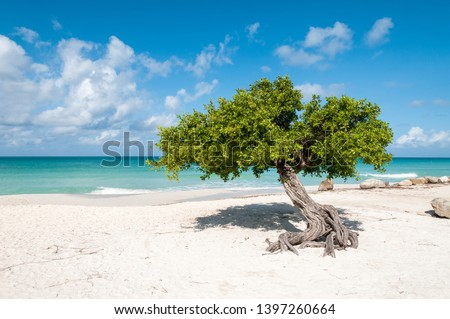 The iconic divi divi tree on the white sand of Eagle Beach at the Caribbean island Aruba. It is a sunny day with blue sky and white clouds. The turquise see is in the background. Photo stock ©