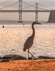 The Iconic image of Maryland, Great Blue Heron and the Chesapeake Bay Bridge