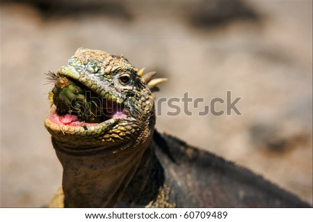 The iguana eats a cactus. The iguana almost entirely swallows a fruit of a cactus of a prickly pear