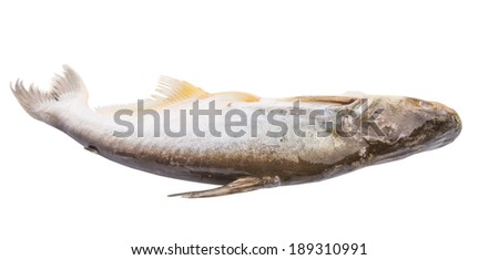 The Ikan Patin Or Scientific Name Pangasius Sutchi Is A