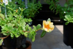 The image of Flower Portulaca oleracea.