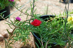 The image of Flower Portulaca oleracea.