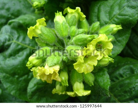 The image of magnificent and beautiful flowers of tobacco