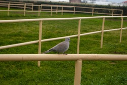 The image of small grey dove, pigeon on a fence of a paddock on a green background.