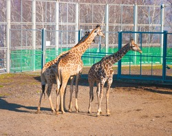 The image of three giraffes in an open-air cage of the Siberian zoo in the autumn