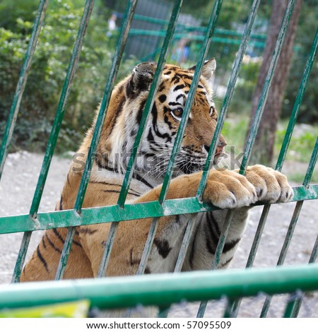 The image of tiger in the cage stands at a sweet pose