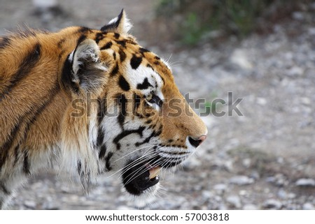 The image of tiger's head under a blurred background #57003818