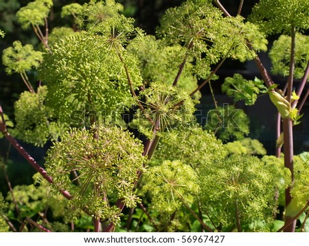 the image shows a blooming angelica archangelica