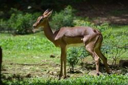 The impala, Aepyceros melampus is a medium-sized antelope The sole member of the genus Aepyceros, Active mainly during the day, the impala may be gregarious or territorial depending upon the climate