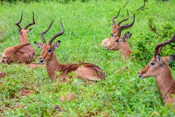 The impala is the most common animal to see in the Kruger park in South Africa.