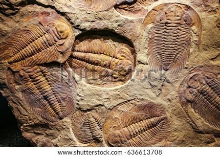 The imprint of the ancient trilobites in a stone. 500 million Year old Trilobite. Trilobites meaning three lobes are a fossil group of extinct marine arachnomorph arthropods, form the class Trilobita. - Shutterstock ID 636613708