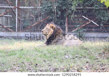 the Indian Gir Lion in zoological Park