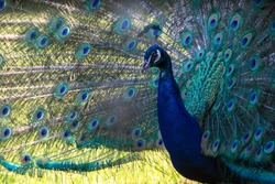 The Indian national bird, the beautiful Peacock displaying its plumage for the camera. Staffordshire, England