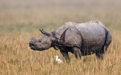 The Indian rhinoceros, also called the greater one-horned rhinoceros and great Indian rhinoceros, is a rhinoceros species native to the Indian subcontinent.