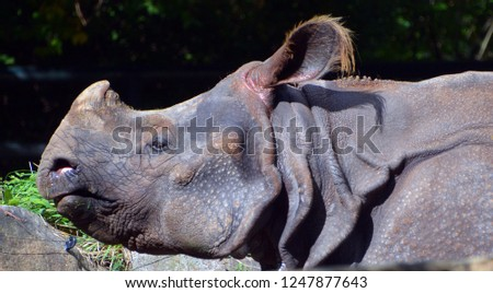 The Indian Rhinoceros (Rhinoceros unicornis) is also called Greater One-horned Rhinoceros and Asian One-horned Rhinoceros and belongs to the Rhinocerotidae family.