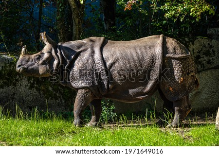 The Indian Rhinoceros, Rhinoceros unicornis is also called Greater One-horned Rhinoceros and Asian One-horned Rhinoceros and belongs to the Rhinocerotidae family. Сток-фото ©