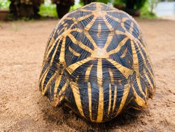 The Indian star tortoise is a medium-sized species of tortoise found in the dry forests of both India and Sri Lanka.
