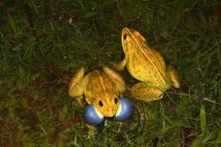 the Indus Valley bullfrog or Indian bullfrog
