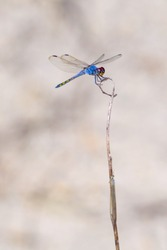 The insect animal wildlife closeup side view of a blue dragonfly with purple eyes is perching on the dry twig with a blurry creamy background.