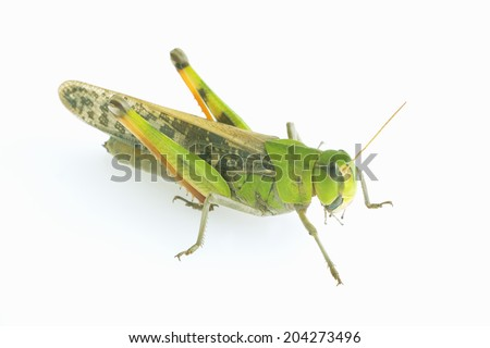 The Insect Belongs To The Species Of Grasshopper #204273496