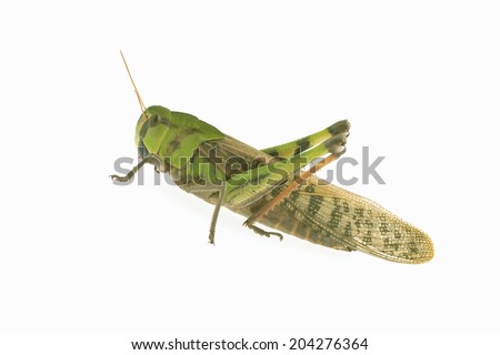 The Insect Belongs To The Species Of Grasshopper #204276364