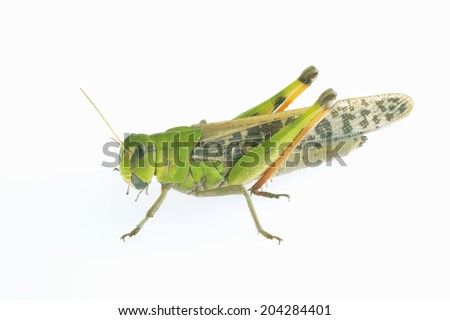 The Insect Belongs To The Species Of Grasshopper #204284401
