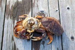 The inside of a male Dungeness crab on a dock in Sechelt, British-Columbia. To clean a Dungeness crab, remove the carapace, split in half, remove the gills (Dead man's fingers) and guts.