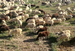 The inside the flock of sheep, seen from above. Group among green grass. Ruminant domestic mammalia. Ovine cattle breeding. White and black animals in the Spanish field. Milk, meat and wool production