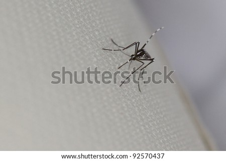 The invasive Asian Tiger Mosquito is a carrier for many parasites and diseases including West Nile virus.