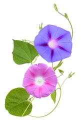 The ipomoea, glory morning flowers isolated white