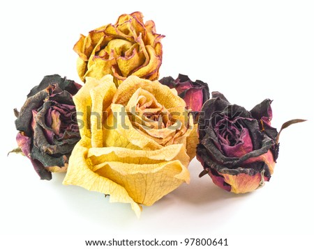 The isolated 5 dry buds of red and yellow roses