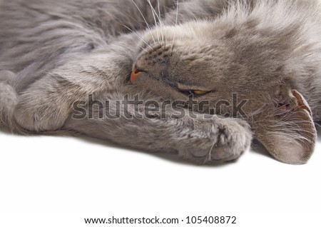 The isolated grey cat on the white  background.