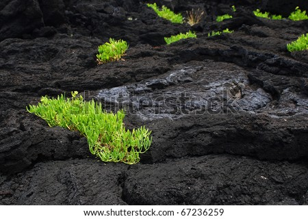 The isolated life on black lava field - stock photo