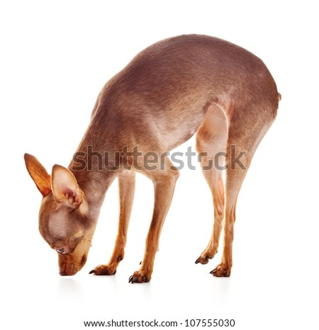 The Italian Greyhound is a small breed of dog, in studio on a white background