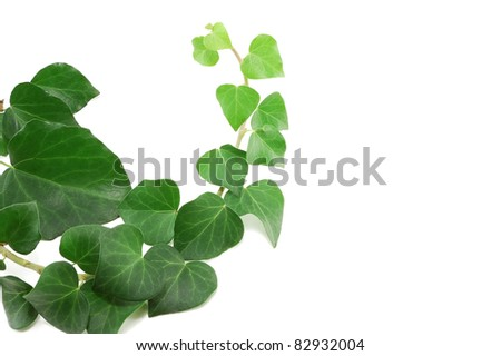 the ivy branch is isolated on a white background