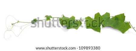 The Ivy Gourd (Coccinia grandis),white background with clipping path