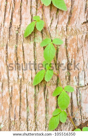 the ivy on tree trunk