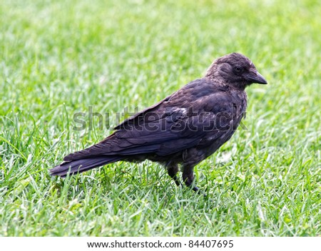 The Jackdaw (Coloeus monedula), sometimes known as the Eurasian Jackdaw, European Jackdaw or Western Jackdaw, is a passerine bird in the crow family.