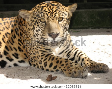 The jaguar (Panthera onca) is a big cat, a feline in the Panthera genus, and is the only Panthera species found in the Americas.