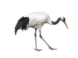 The Japanese crane on white background isolated