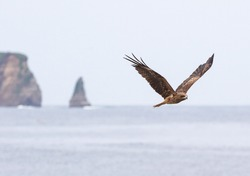 The Japanese Sea Hawk